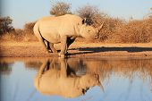 stock photo of rhino  - An adult Black Rhino bull with its reflection on the water clear and crisp - JPG