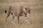 stock photo of cheetah  - An African cheetah walking through the grass - JPG
