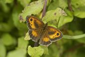 stock photo of gatekeeper  - Hedge Brown or Gatekeeper Butterfly  - JPG