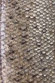 foto of fish skin  - Fresh fish skin texture detail background - JPG