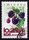 Postage Stamp Russia 1964 Blackberries, Bramble, Perennial Plant