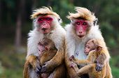 stock photo of macaque  - Monkey family with two babies - JPG