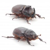 image of oryctes  - The male and female of rhinoceros beetle  - JPG