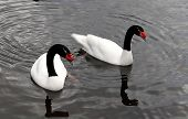 image of nack  - A couple of swans with black nack - JPG