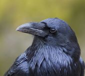 Raven Bird Profile