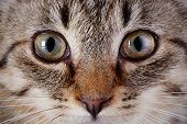 pic of yellow tabby  - Eyes of a gray striped kitten - JPG