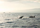 picture of bottlenose dolphin  - Dolphins in Pacific Ocean at sunrise. Bali, Indonesia