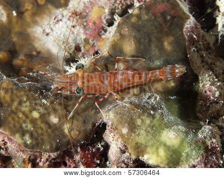 Green-eyed Dancing Shrimp