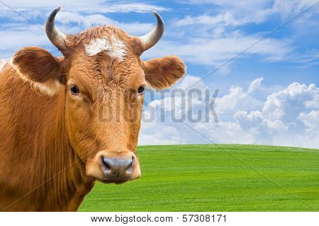 Head Of Cow Over Summer Meadow