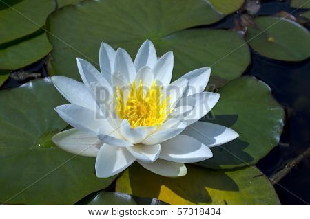 White waterlily in a pond.