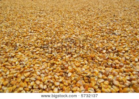Corn seeds sundried