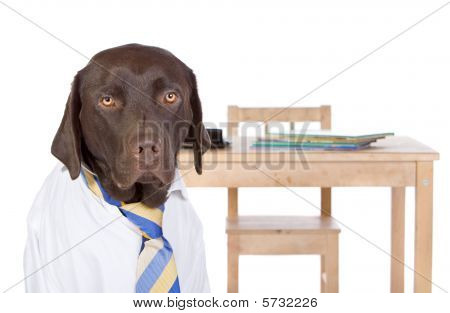 Labrador Going Back To School