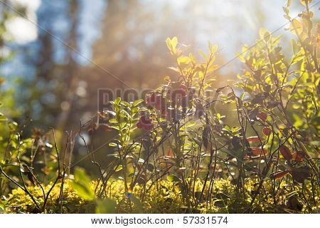 Bush Of Wild Cowberries. Sunny Forest.