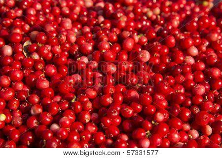 Rich Harvest Of Wild Cowberries.