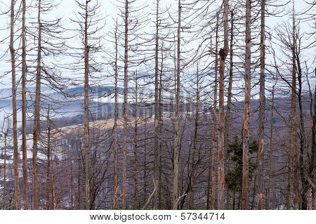 Dry Spruce Trees In Winter Forest