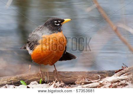 Front View Of American Robin, Turdus Migratorius