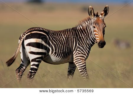 Cape Mountain Zebra, South Africa