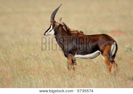 Sable Antelope, South Africa