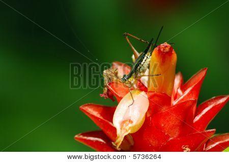 Grass Hopper  Ginger Flower