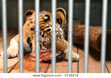 Tiger Eat Meat Cage