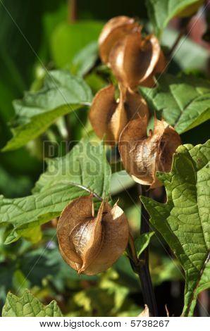 Nicandra Physalodes semilla cápsulas