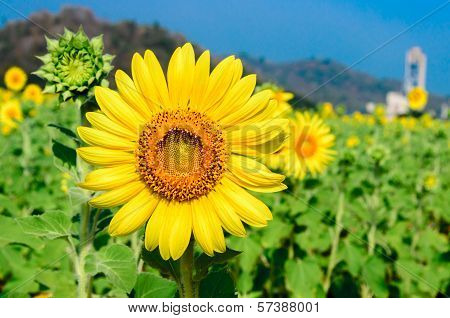 Close-up Of Sunflowers At Field