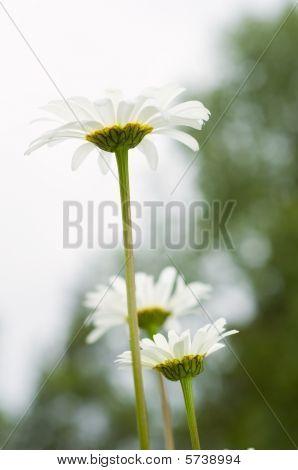 Beautiful Daisies