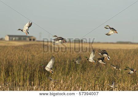 Duck Flock