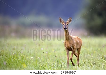 Roe-deer in the clearing