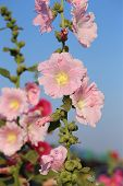 picture of hollyhock  - the Pink hollyhock  - JPG
