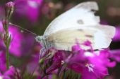 foto of lobelia  - A picture of a Large white or Cabbage butterfly on a pink Lobelia bush
