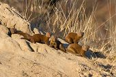 pic of termite  - Family of dwarf mongoose sitting on termite nest resting