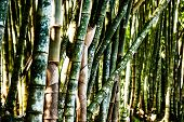 Bamboo Forest Closeup Of Green Trunks