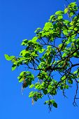 Catalpa Ovata Against The Blue Sky
