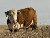picture of hereford  - A large Hereford bull in a pasture - JPG