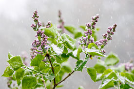 stock photo of errat  - Budding & blooming Lilac flowers caught in an unexpected late spring snowfall. A reminder to gardeners against planting too early in the gardening season. ** Note: Shallow depth of field - JPG