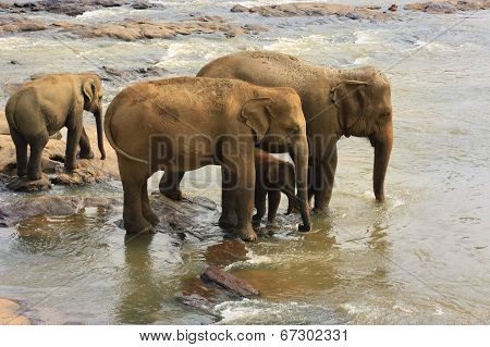 Family Of Indian Elephants
