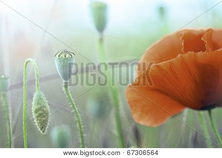 poppy flowers macro with seed pod and red flower detail. Spring wildflower background, Papaver rhoeas, the symbol of Flanders fields.