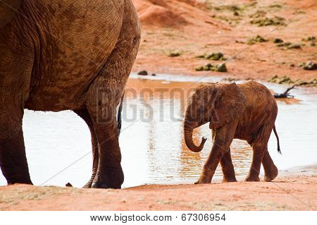 Huge male African elephant