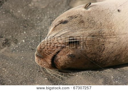 Sea Lion Snoozing