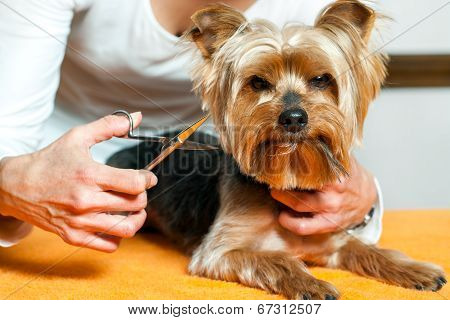 Female Hand Trimming Dogs Hair.