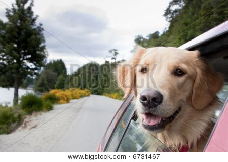 golden dog travels