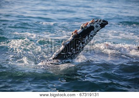 Barnacle encrusted fluke of a humpback whale