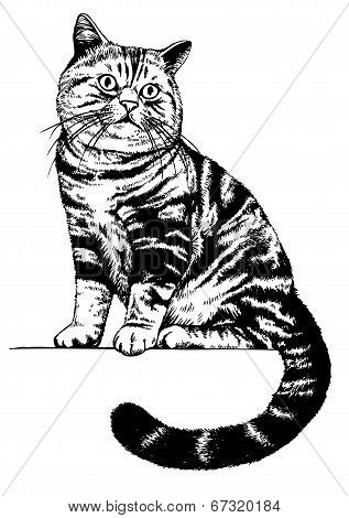 Scottish Cat Drawing