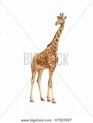 Beautiful adult Giraffe looking at us