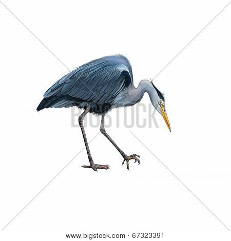 Grey Heron standing bent down, Ardea Cinerea