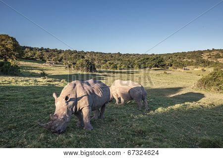 Two Rhino eating grass