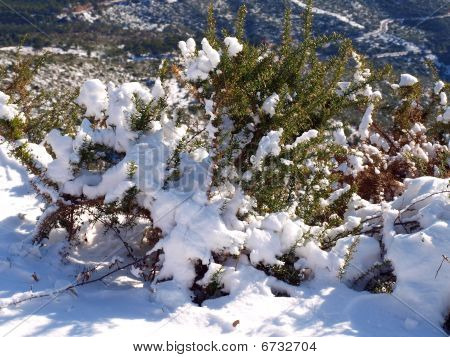 Bush covered with snow