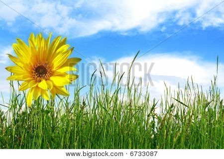 Sunflower And Green Grass