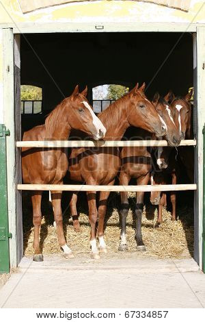 Purebred horses in the barn